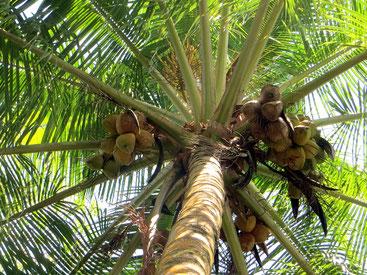 Cocos nucifera - Palma da cocco