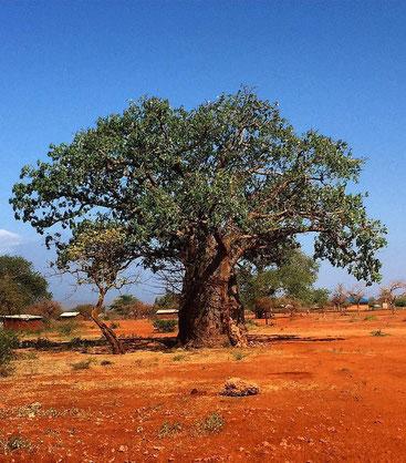 "Adansonia digitata, comunemente nota come ""Baobab africano""."