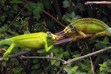Camaleonte Kikuyu dalle tre corna (Trioceros jacksonii xantholophus)