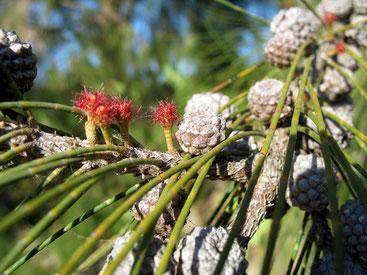 Frutti e rametti di Casuarina equisetifolia