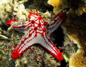 Stella marina Isola di Chale-Kenya