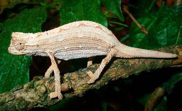Camaleonte pigmeo di Kersten o Camaleonte pigmeo del Kenya (Rieppeleon kerstenii)