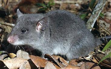 Ratto criceto minore