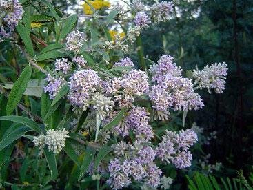 Buddleja salviifolia - Sage Bush