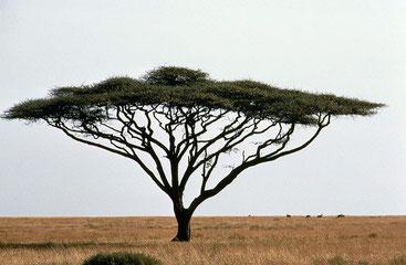 Acacia tortilis - Acacia ad ombrello - Umbrella thorn acacia