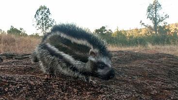 Ratto dalla criniera (Lophiomys imhausi)