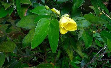 Bauhinia mombassae