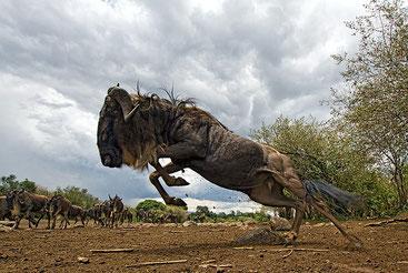 Gnu blu - Wildebeest - Connochaetes taurinus - Masai Mara Kenya