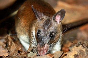 Ratto con la sacca di Emin (Cricetomys emini)