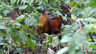 Cefalofo dalla fronte nera - Black fronted duiker - (Cephalophus nigrifrons)