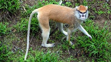 Scimmia Patas - Patas monkey (Erythrocebus patas)