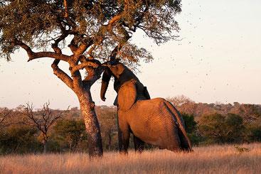 Sclerocarya birrea, conosciuta come albero di Marula
