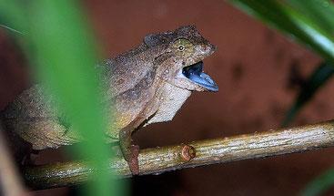 Camaleonte pigmeo barbuto (Rieppeleon brevicaudatus)