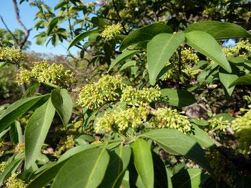Psydrax livida - Green-Twigs Quar
