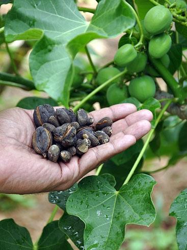 Frutti e semi di Jatropha