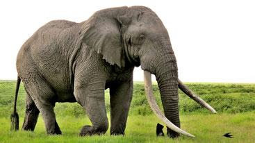 L'elefante chiamato Tim - Amboseli National Park, Kenya
