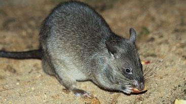 Ratto gigante africano (Cricetomys gambianus)