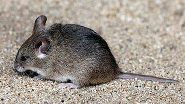 Topo grasso minuscolo (Steatomys parvus)