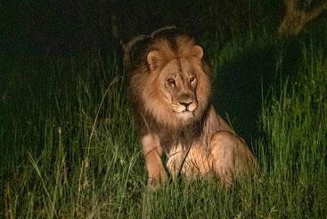Ucciso Mopane, leone simbolo del Parco naturale dello Zimbabwe. Era padre di sei cuccioli