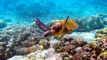 Tartaruga marina. Riserva nazionale marina di Kiunga