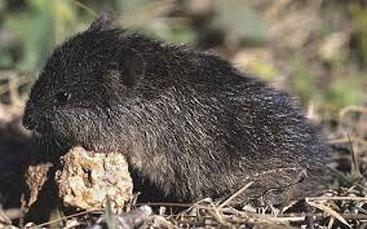 Ratto di palude africano (Dasymys incomtus)