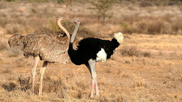 Ostriches in Buffalo Springs National Reserve, Kenya