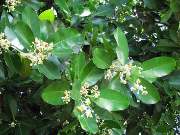 Calophyllum inophyllum - Mtondoo