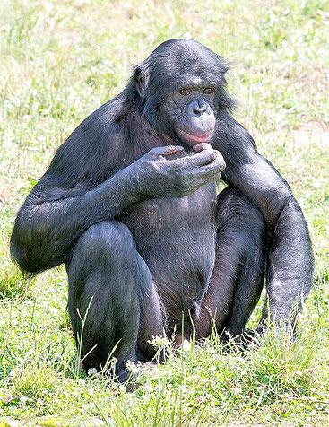 Un maschio alfa di pan paniscus, la scimmia antropomorfa più vicina all'uomo