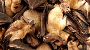 Pipistrelli della frutta, serbatoio naturale più probabile del virus Ebola,in vendita in un mercato alimentare a Brazzaville, Repubblica del Congo