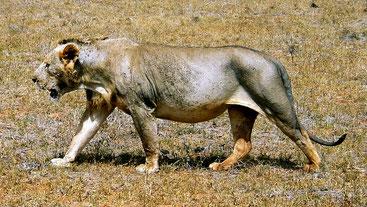 Maneless lion  (leone senza criniera) - Tsavo East National Park