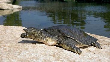 Tartaruga dal guscio molle del Nilo (Trionyx triunguis)
