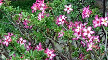 """Adenium multiflorum, comunemente noto come """"Rosa del deserto""""."""
