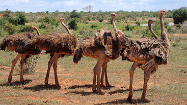 African Ostriches in Tsavo National Park, Kenya