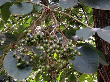 Meru Oak - Vitex keniensis