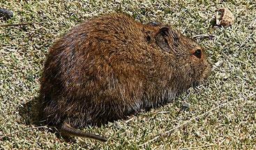 Ratto vlei afroalpino del Monte Kenya (Otomys orestes)
