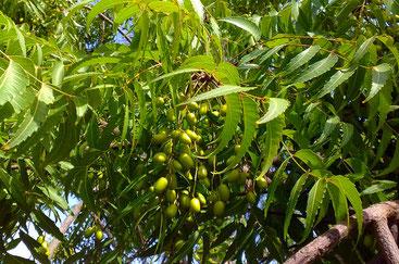 Neem (Azadirachta indica)