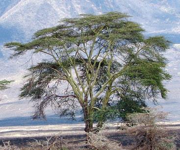 Acacia xanthophloea - Albero della febbre - Mukanya Kude - Fever tree