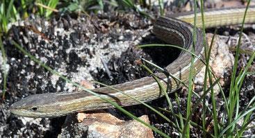 Lucertola serpente del Capo, Chamaesaura anguina
