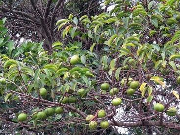Chrysophyllum viridifolium - Milkwood scanalata