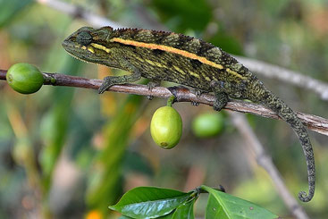 Camaleonte a strisce laterali (Trioceros bitaeniatus)