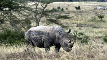 Rinoceronte nero. Parco Nazionale di Nairobi