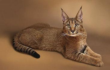 Gatto Caracat