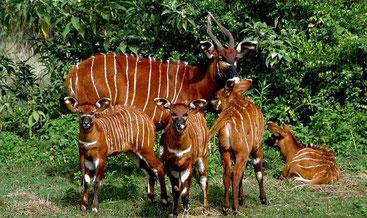 Famiglia di Bonghi orientali o montani (Tragelaphus eurycerus isaaci)
