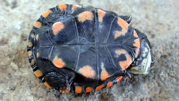 Tartaruga a cerniera del lago Turkana (Pelusios broadleyi)