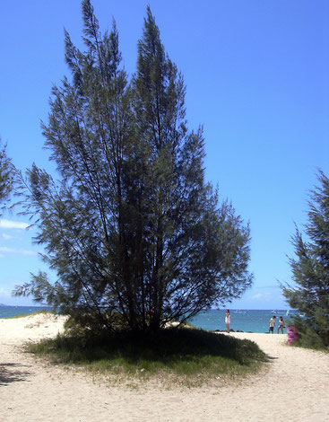 Casuarina equisetifolia - Whistling Pine - Mvinje