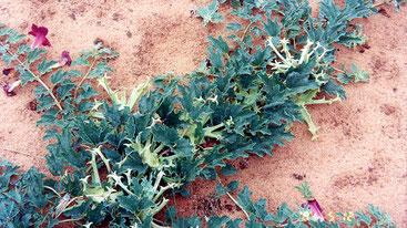 Artiglio del Diavolo (Harpagophytum procumbens)