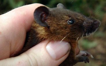 Ratto dal pelo arrugginito (Lophuromys sikapusi)