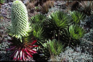 Lobelia deckenii ssp. keniensis