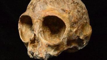 Cranio di Nyanzapithecus alesi