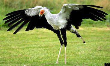 Uccelli del Kenya - Uccello Serpentario o Segretario - Birds of Kenya - Secretary bird - (Sagittarius serpentarius)